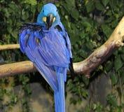 Pappagallo blu Immagine Stock Libera da Diritti