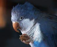 Pappagallo blu al ramo che tiene pane Fotografia Stock Libera da Diritti