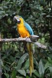 Pappagallo blu e giallo del Macaw Fotografie Stock Libere da Diritti