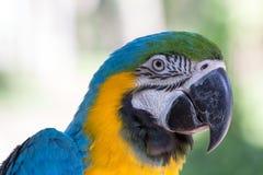 Pappagallo blu e giallo dell'ara nel parco dell'uccello di Bali, Indonesia Immagini Stock