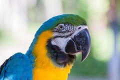 Pappagallo blu e giallo dell'ara nel parco dell'uccello di Bali, l'Indonesia Fotografie Stock Libere da Diritti
