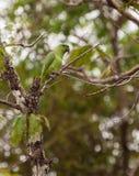 pappagallo Breve-munito Immagini Stock