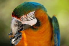 Pappagallo che mangia con le sue zampe Fotografia Stock
