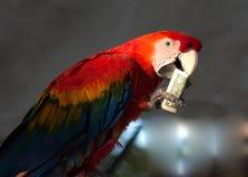Pappagallo che mangia una banconota del 1 dollaro Fotografia Stock Libera da Diritti