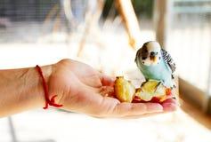 Pappagallo che si siede sulla sul suoi mano e cibo immagine stock