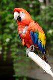 Pappagallo colorato piacevole Fotografia Stock Libera da Diritti