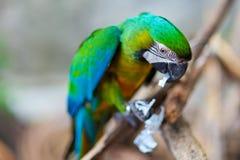 pappagallo con molto verde Immagine Stock Libera da Diritti