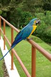 Pappagallo in Costa Rica Fotografia Stock Libera da Diritti