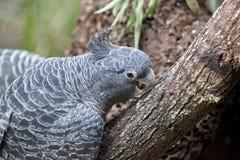 pappagallo del Gruppo-gruppo Immagini Stock Libere da Diritti