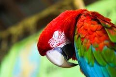 Pappagallo del Macaw di sonno immagine stock