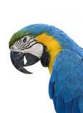 Pappagallo del Macaw su bianco Immagini Stock Libere da Diritti