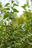 Pappagallo del Parakeet di Ringnecked dell'indiano Fotografia Stock