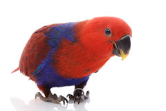 Pappagallo del Solomon Island Eclectus Fotografia Stock