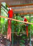 Pappagallo dell'ara Fotografia Stock