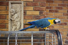 Pappagallo dell'ara su un ramo con un fondo del muro di mattoni Pappagallo dell'ara nell'ufficio Pappagallo dell'ara Immagini Stock
