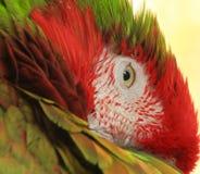 Pappagallo dell'arcobaleno, pappagallo dell'ara, uccello esotico Immagine Stock Libera da Diritti
