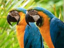 Pappagallo dell'oro & del blu, pappagallo dell'ara, uccello esotico Fotografia Stock Libera da Diritti