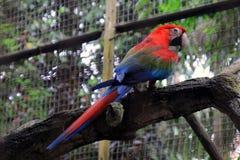 Pappagallo dell'uccello di colore fotografie stock libere da diritti