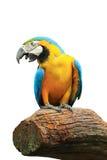 Pappagallo dell'uccello isolato fotografie stock