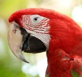Pappagallo di Amazon dell'arcobaleno, pappagallo dell'ara Immagini Stock Libere da Diritti