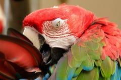 Pappagallo di Amazon dell'arcobaleno, pappagallo dell'ara Fotografie Stock
