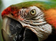 Pappagallo di Amazon dell'arcobaleno, pappagallo dell'ara Immagine Stock Libera da Diritti