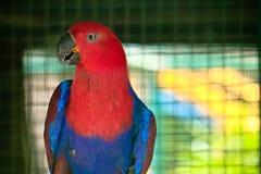 Pappagallo di Eclectus nello zoo fotografie stock