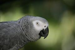Pappagallo di Gray africano Fotografie Stock