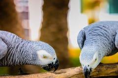 Pappagallo di gray africano immagine stock