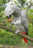 Pappagallo di grey africano Immagine Stock
