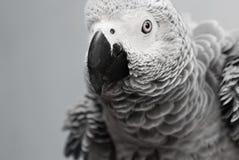 Pappagallo di grey africano Immagini Stock Libere da Diritti
