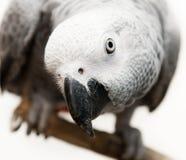 Pappagallo di grey africano Fotografie Stock Libere da Diritti