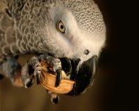 Pappagallo di grey africano Fotografie Stock