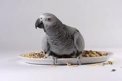 Pappagallo di Grey africano con il seme Fotografia Stock Libera da Diritti