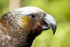 Pappagallo di Kaka nella foresta della Nuova Zelanda fotografie stock