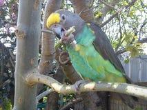 pappagallo di meyers Fotografia Stock Libera da Diritti