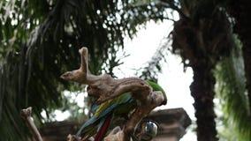 Pappagallo di prato e variopinto dell'ara sui rami di albero all'interno della mostra Isola tropicale di Bali, Indonesia Zoo di B archivi video