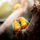 Pappagallo di Sun Conure Fotografia Stock