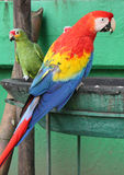 Pappagallo e macaw Fotografie Stock