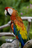 Pappagallo esotico - Macaw Fotografie Stock Libere da Diritti