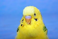 Pappagallo giallo e ondulato. Fotografia Stock