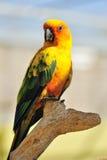 Pappagallo giallo tropicale con le ali verdi, Fotografie Stock