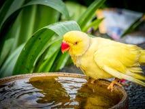 Pappagallo giallo variopinto, stante sulla ciotola Fotografia Stock