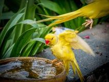 Pappagallo giallo variopinto, stante sulla ciotola Immagine Stock Libera da Diritti