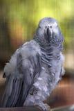 Pappagallo grigio Fotografia Stock