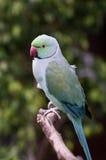 Pappagallo indiano verde del collo dell'anello Immagini Stock Libere da Diritti