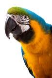 Pappagallo - Macaw Immagini Stock