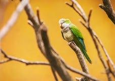 Pappagallo ondulato verde sui precedenti gialli luminosi Fotografie Stock