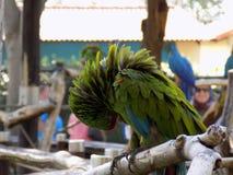 Pappagallo pavoneggiantesi verde fotografia stock