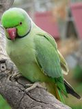 Pappagallo ringnecked verde Fotografia Stock